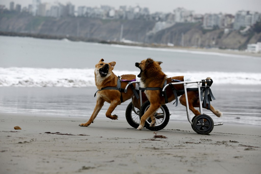 Pelusa and Huellas, paraplegic dogs in wheelchairs, play at Pescadores beach in Chorrillos, Lima, September 7, 2015. Sara Moran has an animal shelter called Milagros Perrunos where she cares for stray dogs and shelters dogs injured from traffic accidents or domestic abuses. With donations and raffling, Moran purchases wheelchairs, food and medical treatment for the dogs at her shelter in Chorrillos. Picture taken September 7, 2015. REUTERS/Mariana Bazo - RTS7VM